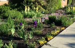 Olds Irises